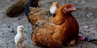 penyakit yang disebabkan oleh hewan