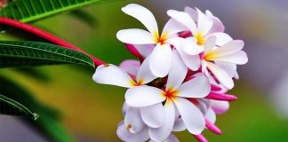 manfaat minyak bunga kamboja