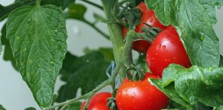 khasiat tomat untuk kesuburan pria