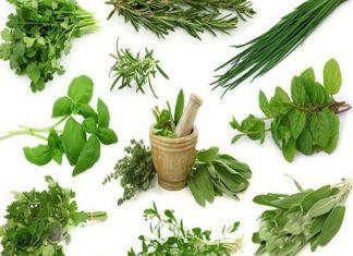 pengembangan tanaman toga