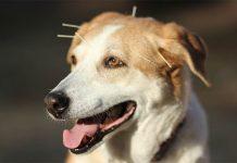 5 manfaat kesehatan akupuntur untuk anjing
