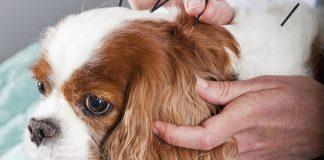 bagaimana akupuntur yang diberikan untuk hewan