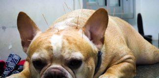 akupuntur bisa untuk anjing